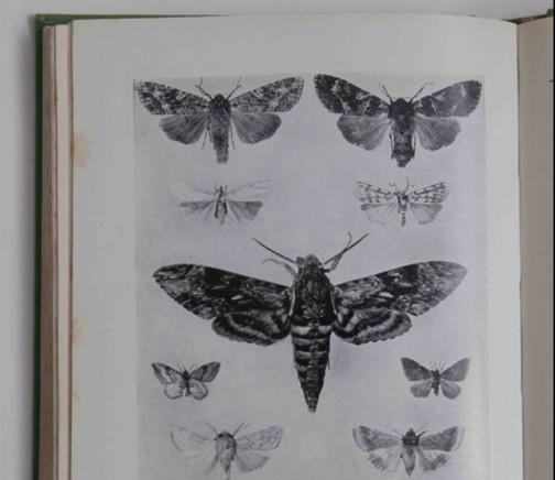 Moth plate XX S.Beaufoy